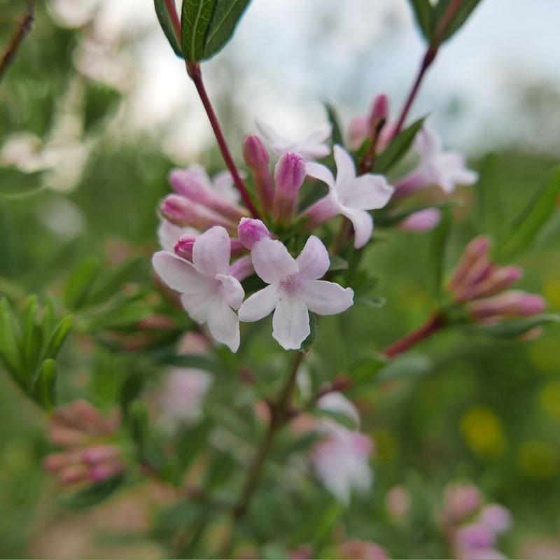 Lonicera syringantha, Flieder-Heckenkirsche im Yuccashop -