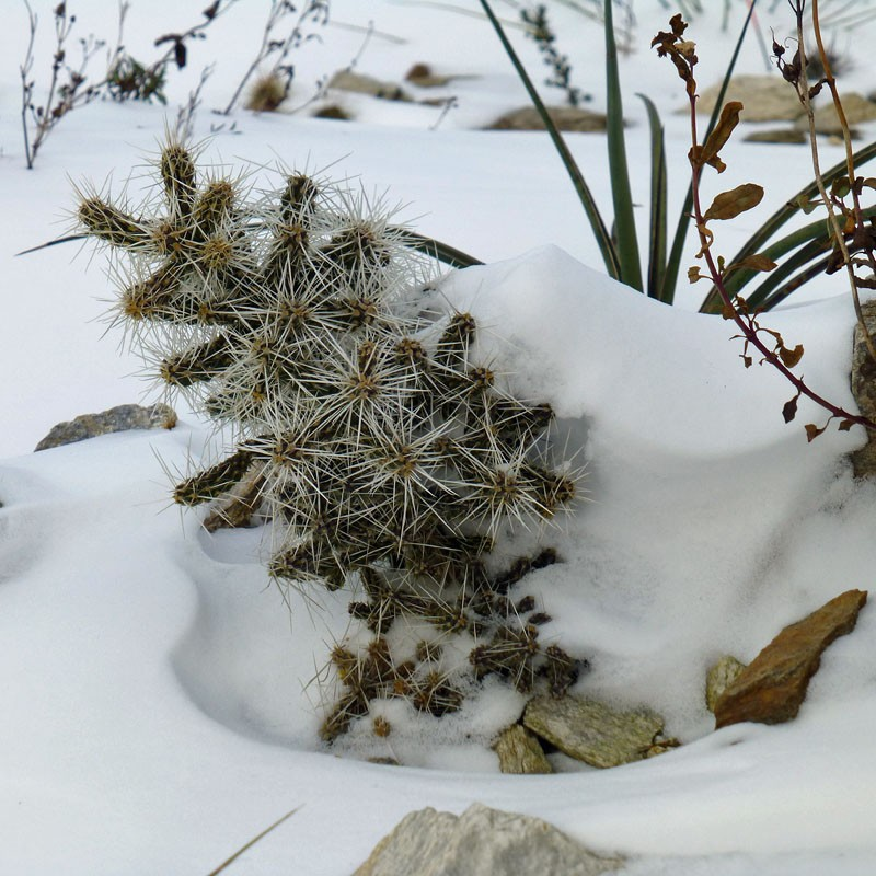 Cylindropuntia whipplei LZ 267, Whipple's Cholla, Yuccashop -