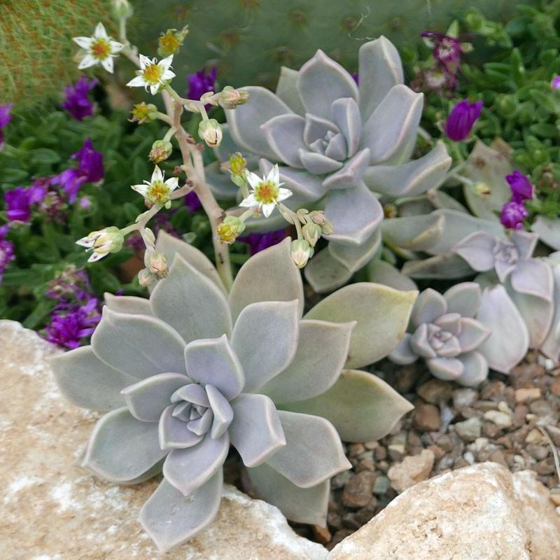 Graptopetalum paraguayense, Perlmutter, Felsenrose, Yuccashop -