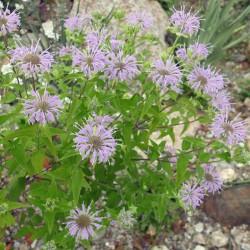 Monarda bradburiana, Indianernessel vom Yuccashop -
