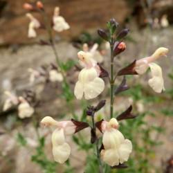 Salvia x jamensis 'Melen', Strauchsalbei vom Yuccashop -