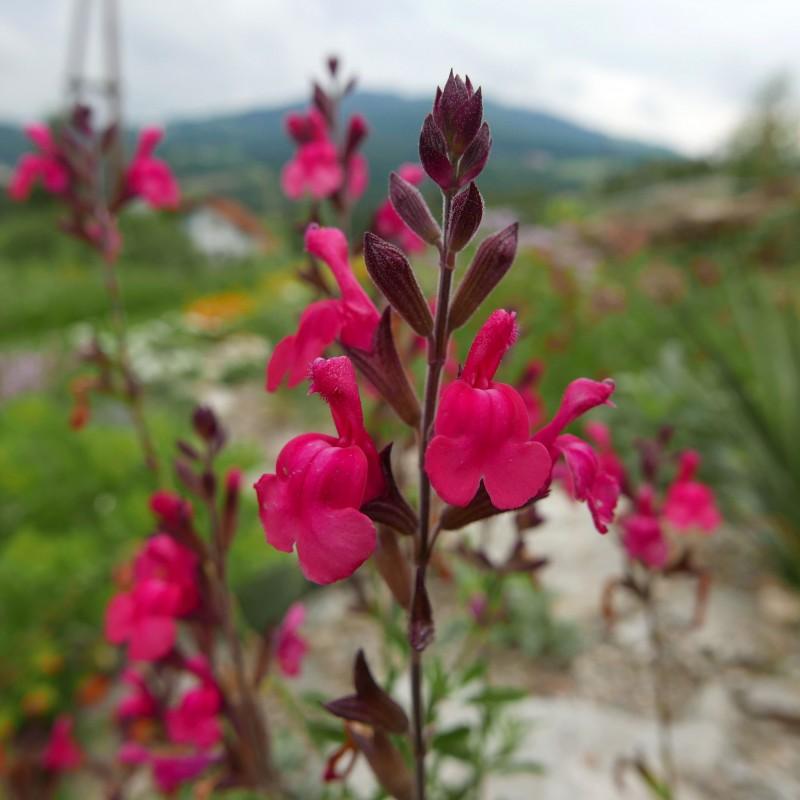 Salvia 'Arctic Blaze Fuchsia', Strauchsalbei vom Yuccashop -