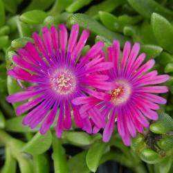 Delosperma 'Grande Magenta', Mittagsblumen vom Yuccashop -