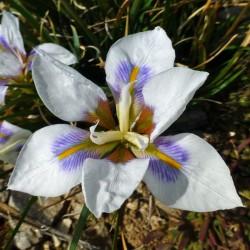 Iris unguicularis 'Peloponnese Snow' im Yuccashop kaufen -