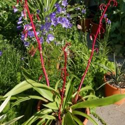 Beschorneria septentrionalis im Yuccashop kaufen -