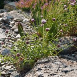 Monardella odoratissima, Bienenbalsam vom Yuccashop -