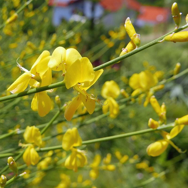 Genista aetnensis, Ätna-Ginster im Yuccashop kaufen -