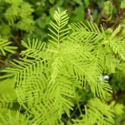 Desmanthus illinoensis, Prairie-Mimose vom Yuccashop -