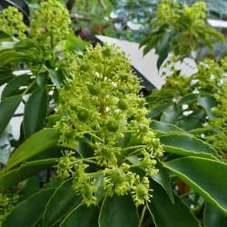 Trochodendron aralioides, Radbaum im Yuccashop kaufen -