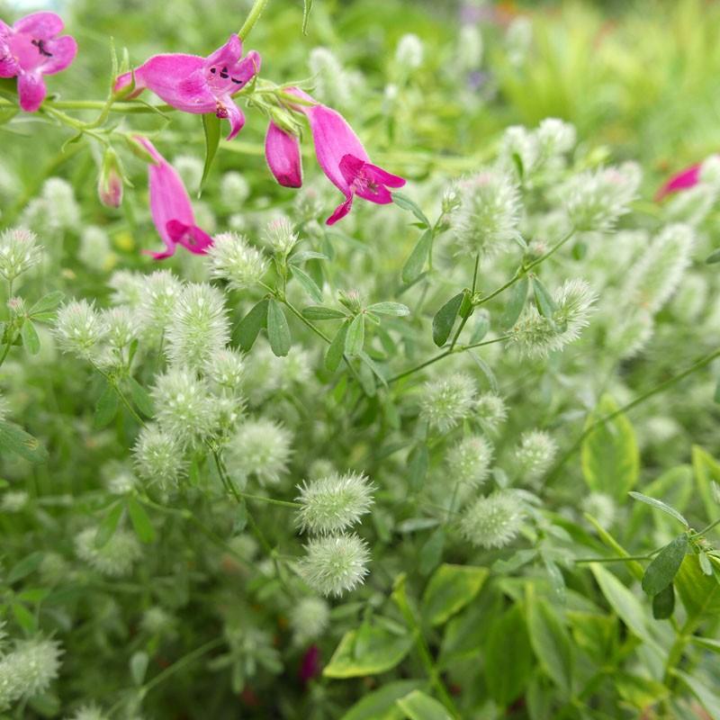 Trifolium arvense, Hasenklee im Yuccashop kaufen -