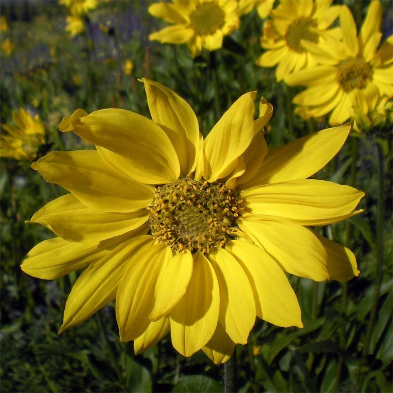 Helianthella quinquenervis, Zwergsonnenblume im Yuccashop -