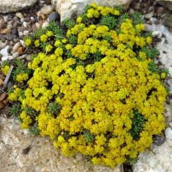 Euphorbia clavaroides var. truncata, Keulenwolfsmilch, Yuccashop -