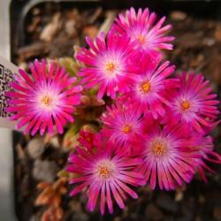 Delosperma 'Karen', Mittagsblumen im Yuccashop kaufen -