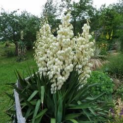 Yucca gloriosa [Italien], Yucca-Hybriden im Yuccashop kaufen -
