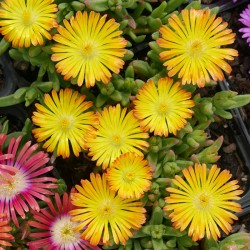 Delosperma ''Wonderful Sun'', Mittagsblumen vom Yuccashop -