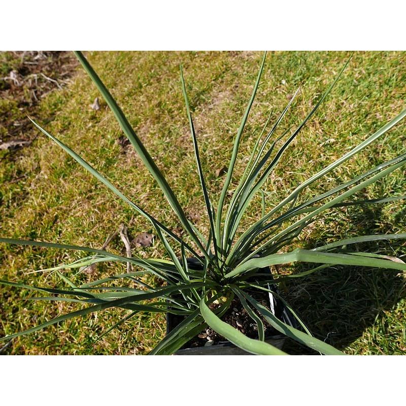 Yucca Hybride MB 2012.27, Palmlilien für den Garten, Yuccashop -