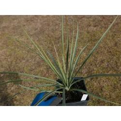 Yucca Hybride GG 085, Pflanzen für besondere Gärten, Yuccashop -