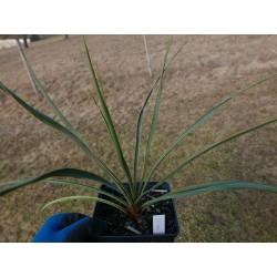 Yucca Hybride GG 096, Pflanzen für besondere Gärten, Yuccashop -