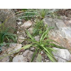 Manfreda virginica,Virginia-Zwiebelagave, Yuccashop -