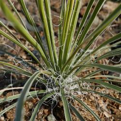 Yucca Hybride GG 040, Pflanzen für besondere Gärten, Yuccashop -