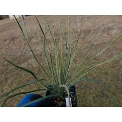 Yucca Hybride GG 069, Pflanzen für besondere Gärten, Yuccashop -