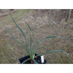 Yucca Hybride GG 087, Pflanzen für besondere Gärten, Yuccashop -