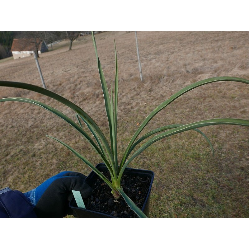 Yucca Hybride GG 099, Pflanzen für besondere Gärten, Yuccashop -