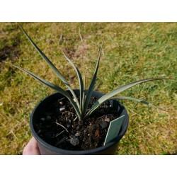 Yucca Hybride GG 074, Pflanzen für besondere Gärten, Yuccashop -