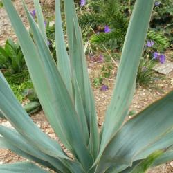 Yucca Hybride GG 093, Pflanzen für besondere Gärten, Yuccashop -