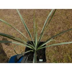 Yucca Hybride GG 091, Pflanzen für besondere Gärten, Yuccashop -