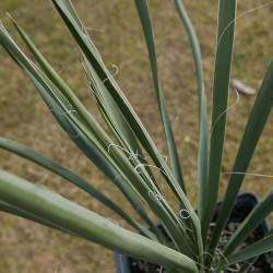 Yucca Hybride GG 063, Pflanzen für besondere Gärten, Yuccashop -