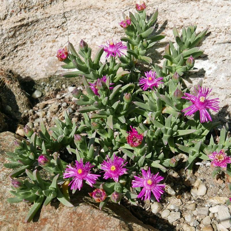 Ruschia pulvinaris ''Kompakte Auslese'', Polster-Ruschia, Yuccashop -