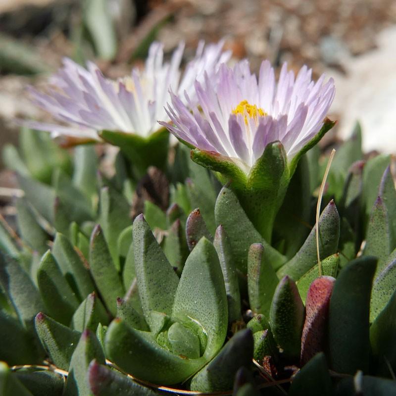 Ebracteola wilmaniae, frostharte Mittagsblume, Yuccashop, Prince Albert Vygie, Meerkatvygie -