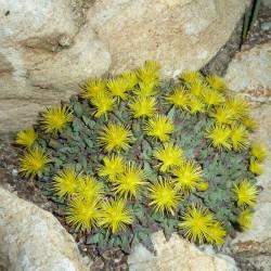 Stomatium loganii, Logan-Mäulchenblume, im Yuccashop kaufen -