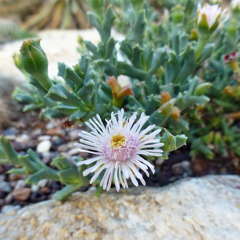 Ruschia rupicola, SB 1508, frostharte Aizoaceae, vom Yuccashop -