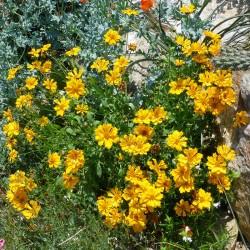 Coreopsis auriculata, Mädchenauge vom Yuccashop -