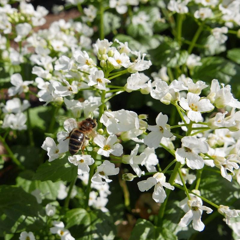 Pachyphragma macrophylla, Scheinschaumkraut vom Yuccashop -