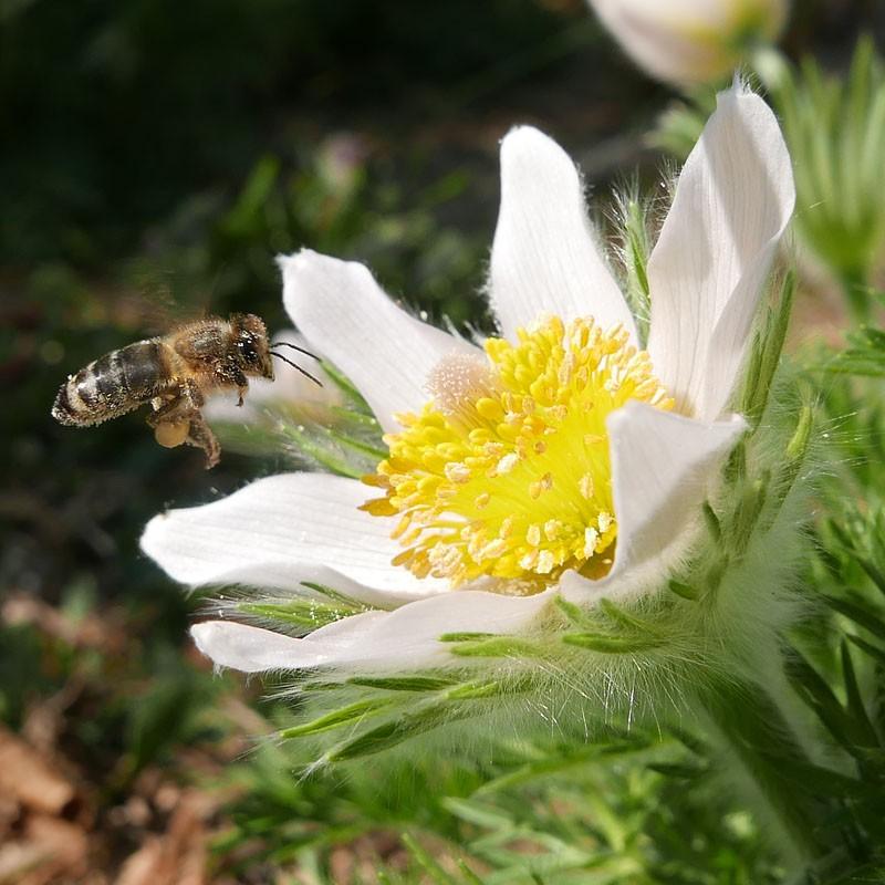 Pulsatilla vulgaris 'Alba', Kuhschelle vom Yuccashop -