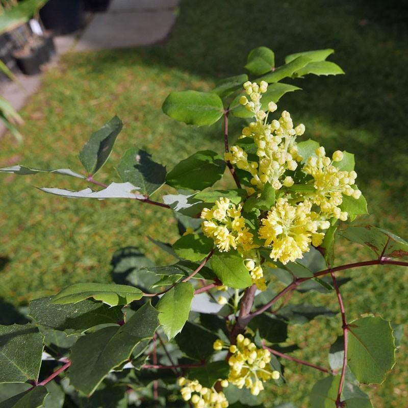 Mahonia wilcoxii, Wilcox's Mahonie vom Yuccashop -