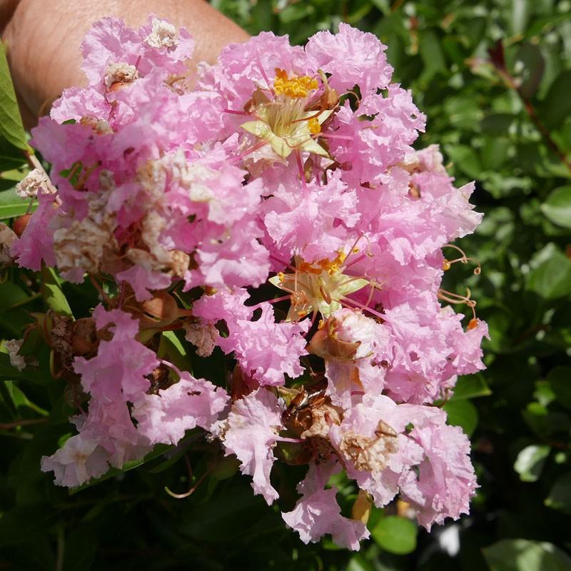 Lagerstroemia 'Pink Grand Sud', Indischer Flieder vom Yuccashop -