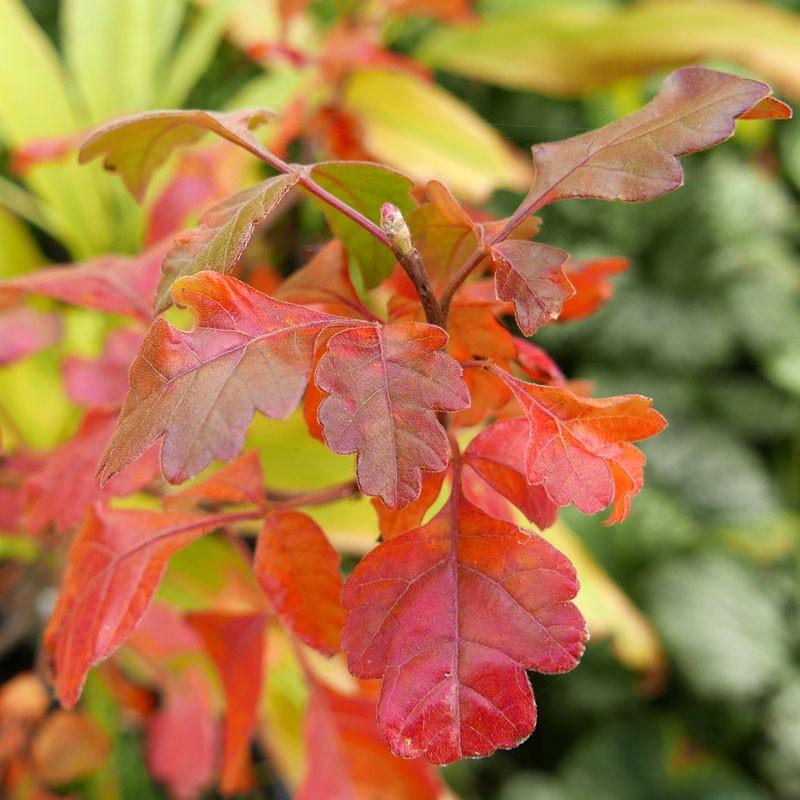 Rhus aromatica, Hoher Duftsumach vom Yuccashop -