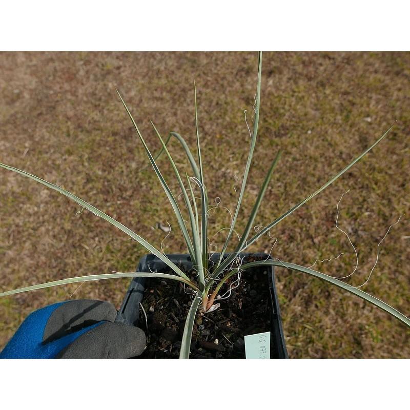 Yucca Hybride GG 077, Pflanzen für besondere Gärten, Yuccashop -