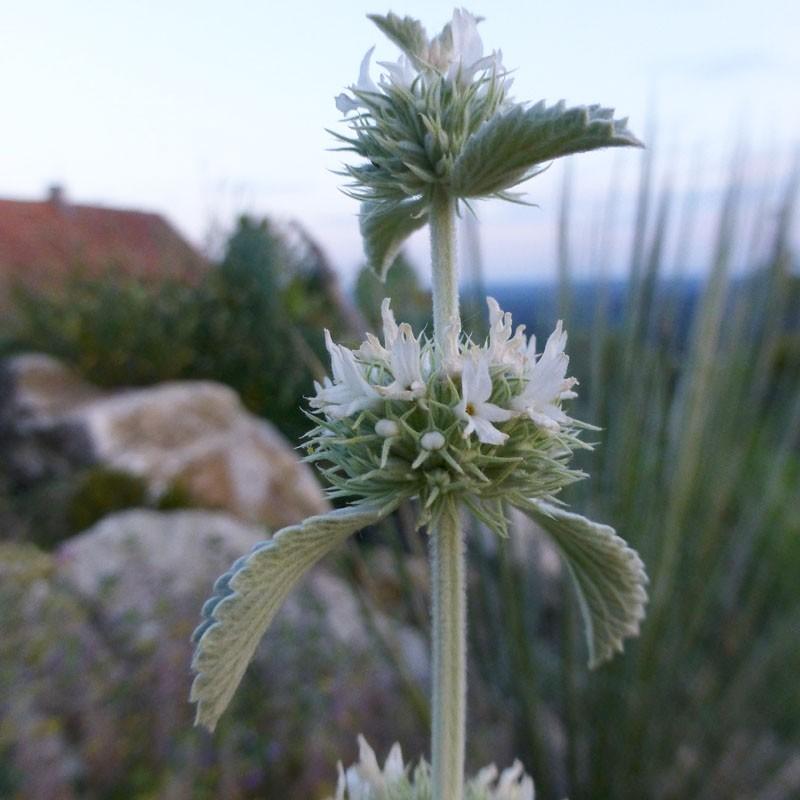 Marrubium, incanum, Stauden, im Yuccashop kaufen -