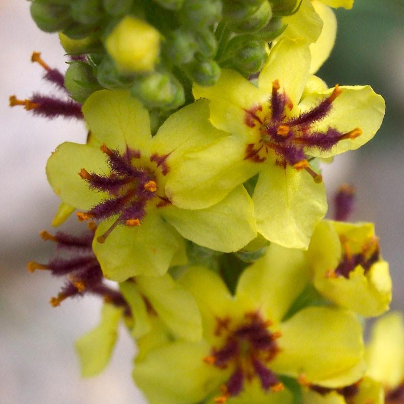 Verbascum nigrum, Königskerze vom Yuccashop -