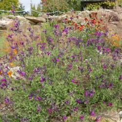 Salvia 'Arctic Blaze Purple', Strauchsalbei vom Yuccashop -