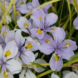 Iris henryi, Schwertlilien vom Yuccashop -