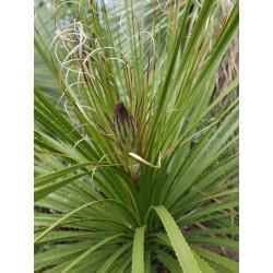 Dasylirion leiophyllum, Rauhschopf vom Yuccashop -