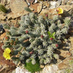 Corynopuntia clavata, Kakteen vom Yuccashop -
