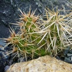 Corynopuntia clavata Typ Nr. 111, Kakteen vom Yuccashop -