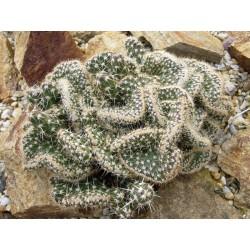 Corynopuntia clavata 'Wicki', Kakteen vom Yuccashop -